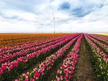 Tulipanu pole w wiośnie Obrazy Royalty Free