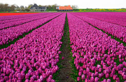 Tulipanu pole w Zachodnim Friesland, holandie Obraz Stock