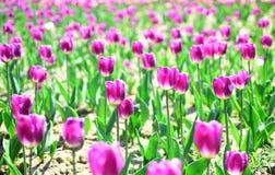 Tulipanu pole Wiosna kwiatu pole młodzi dorośli Uprawiać ziemię i uprawiać ogródek 8 marsz lub kobieta dzień Kwiatu sklepu pojęci obraz stock