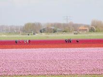 Tulipanu pole z pracujący ludzi Zdjęcia Royalty Free