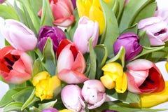 tulipanu różowy purpurowy kolor żółty Zdjęcie Royalty Free