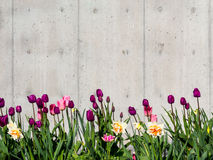 Tulipanu rabatowy tło Obrazy Stock
