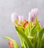 Tulipanu studia strzał Obrazy Royalty Free