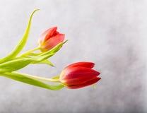 Tulipanu studia strzał Zdjęcia Royalty Free