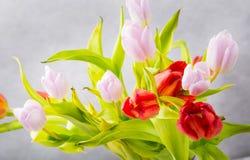 Tulipanu studia strzał Obraz Royalty Free