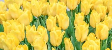 Tulipanu tło Obraz Royalty Free