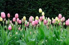 Tulipanu Tulipa fotografia royalty free