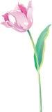 tulipanu wektor Zdjęcie Stock