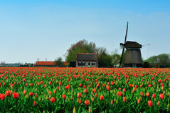 tulipanu wiatraczek Obraz Stock