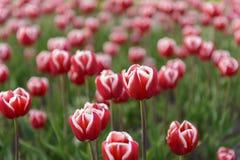 Tulipanu zakończenie Obraz Stock