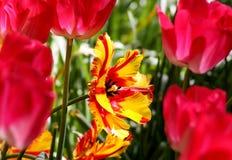 Tulipanu zakończenie w Królewskim Keukenhof parku Obraz Royalty Free