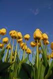 Tulipanu zasięg dla nieba Zdjęcia Royalty Free