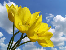 tulipany żółte Obrazy Royalty Free