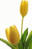 tulipany żółte Zdjęcia Royalty Free