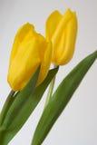 tulipany żółte Fotografia Royalty Free