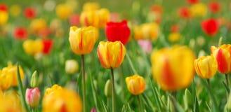tulipany żółte Zdjęcie Stock
