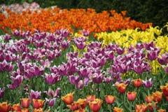 tulipany 1 Fotografia Royalty Free