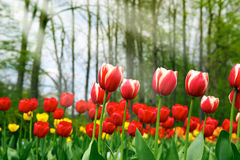 tulipany Zdjęcia Royalty Free