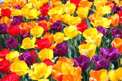 Tulipany. Zdjęcia Stock