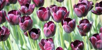 Tulipany. Obraz Stock