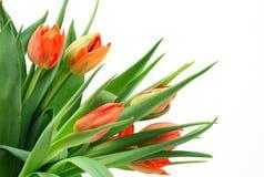 Tulipany obrazy stock