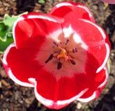 Tulipany 003 Obraz Royalty Free