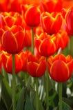 tulipany Zdjęcie Royalty Free