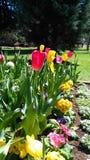 Tulipany Fotografia Royalty Free