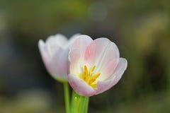 tulipany 2 Fotografia Stock