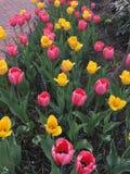 Tulipany Fotografia Stock