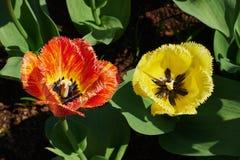tulipany 2 Zdjęcie Royalty Free