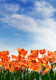 tulipany błękitne niebo Obrazy Royalty Free