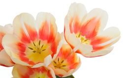 Tulipany banda tulipanów Zakończenie bukiet kwiaty Kwiatu te Zdjęcia Stock