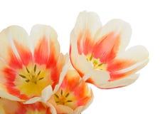 Tulipany banda tulipanów Zakończenie bukiet kwiaty Kwiatu te Zdjęcia Royalty Free