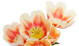 Tulipany banda tulipanów Zakończenie bukiet kwiaty Kwiatu tex Zdjęcia Royalty Free