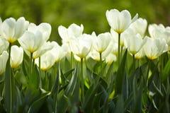 tulipany biały zdjęcie stock