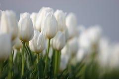tulipany biały Zdjęcia Royalty Free
