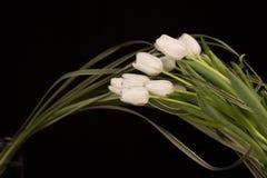 tulipany biały Zdjęcie Royalty Free