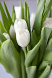tulipany biały Obraz Stock