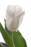 tulipany biały Fotografia Stock