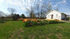 Tulipany, bielu dom, Beckman młyn, Beloit, WI fotografia stock