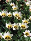 tulipany botaniczne Obraz Royalty Free