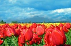 tulipany czerwone Obraz Stock