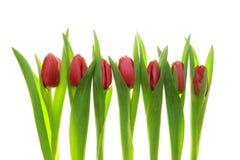 tulipany czerwone Zdjęcie Stock