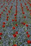 tulipany czerwone Obrazy Royalty Free