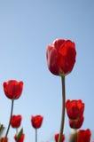 tulipany czerwone Fotografia Royalty Free