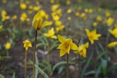 tulipany dzikie fotografia stock