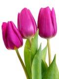 tulipany fiołkowi Obrazy Royalty Free