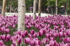 Tulipany i biała brzoza Obrazy Stock