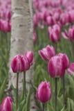 Tulipany i biała brzoza Fotografia Stock